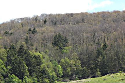 forest tent caterpillar & Forest tent caterpillar outbreaks
