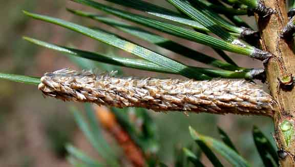egg mass of the pine processionary