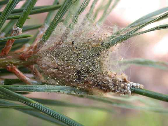 Temporary shleter of early instar caterpillars built over egg mass