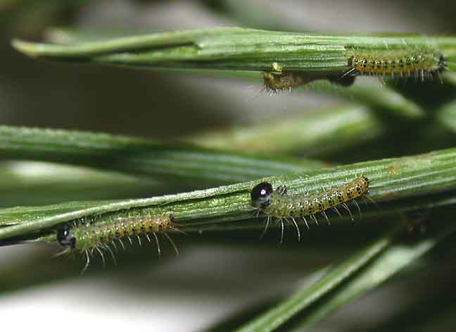 First instar caterpillars feeding on pine needles