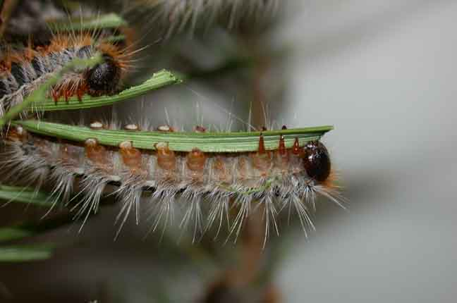 Caterpillars feeding at night