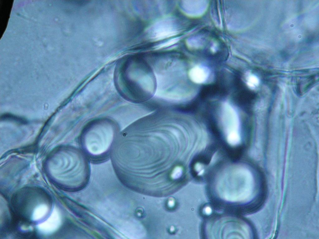 tuber cells Determination of the water potential of potato tuber cells method five sucrose solutions with varying molarity and one control containing distilled water were prepared and poured into test.